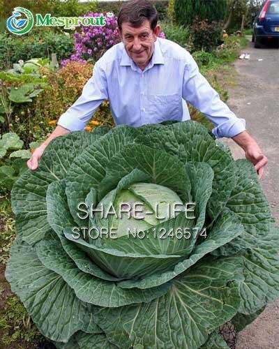 100 Bonsai Rare Giant Russian Cabbage Bonsai High-Quality Vegetable Vegetable Bonsai 95%+ Germinatio
