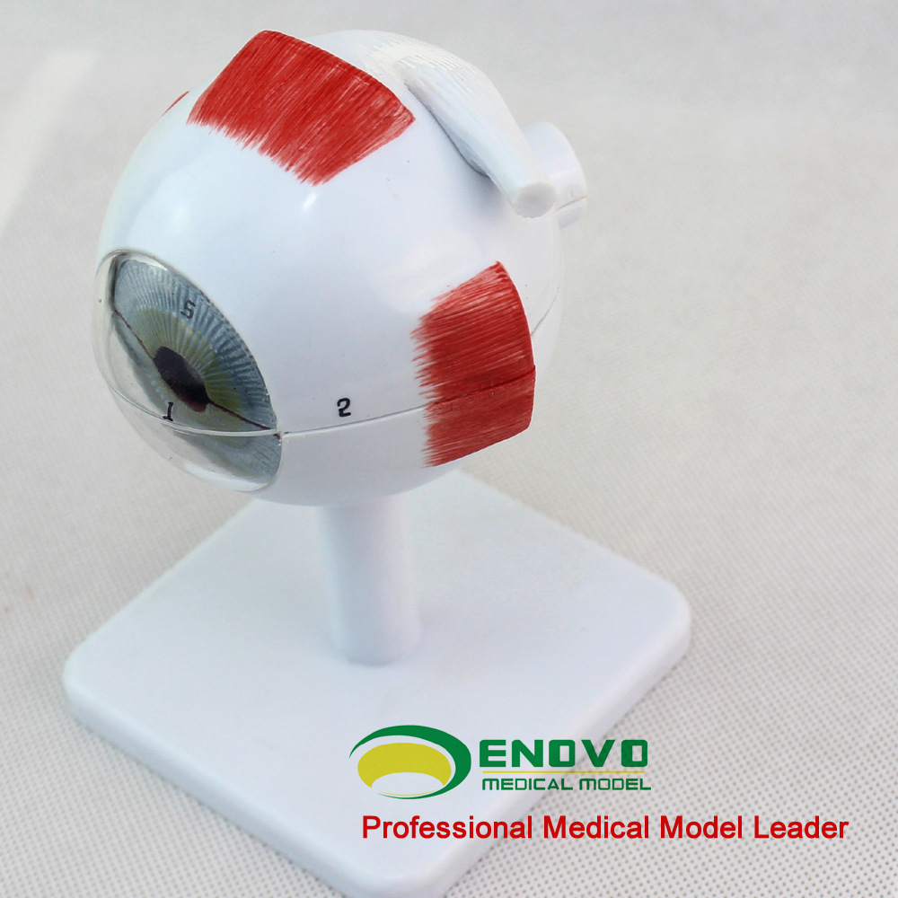 New Medical 4D Eye Anatomy Model Assembled Human Model Eye Anatomia ...