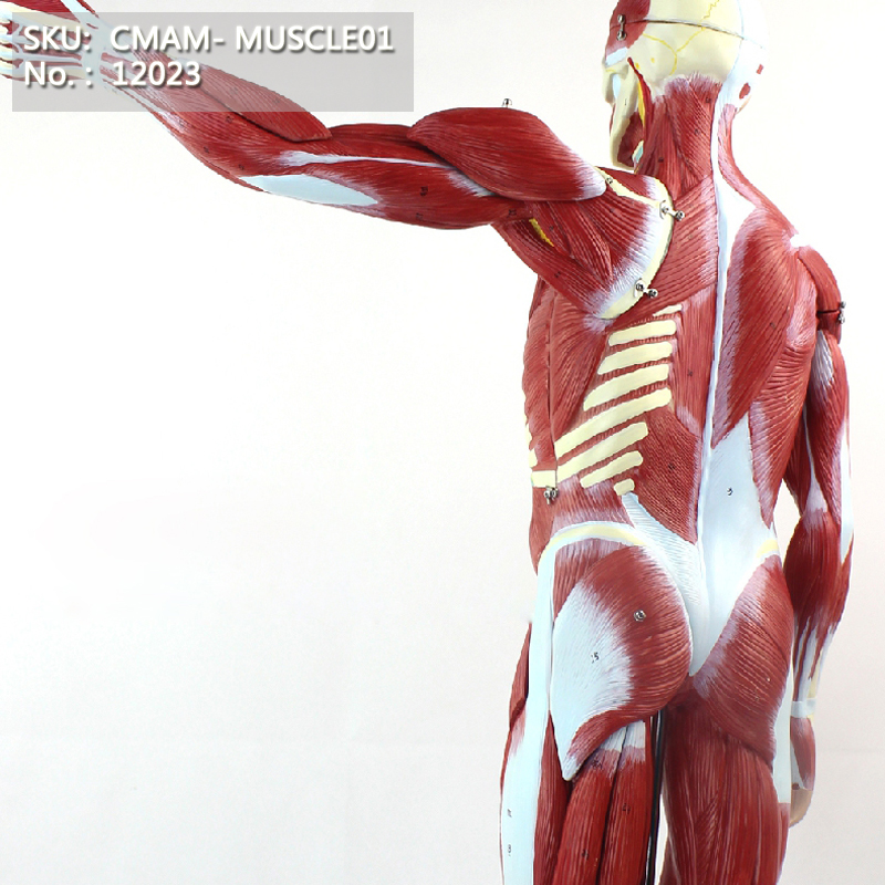 Cmam12023 Muscle Full Body 78cm Plastic Human Body Muscle