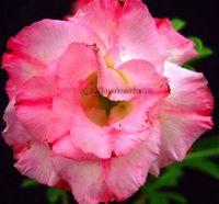 100 Genuine Full Moon Adenium Obesum Seeds 100 SEEDS Bonsai Desert Rose Flower Plant Seeds