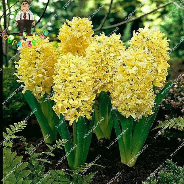 50 pz Blu Hyacinthus Orientalis bonsai Jardin Giacinto bonsais Piante In Vaso di Fiori Bonsai Plantas Per La Casa Decorazione del Giardino