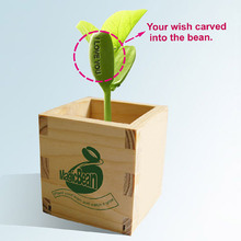 Free shipping(6pcs/lot)Hot sale magic seeds,wooden beans ,growing message beans,natural green home plants.home decoration