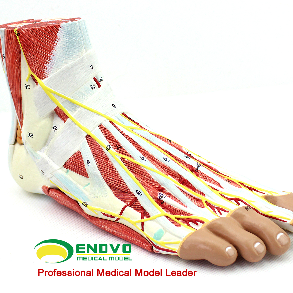 Human foot level anatomy ankle joint muscle neurovascular ligament ...