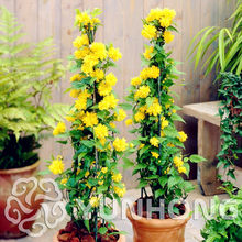 50PCS Rare Kerria Japonica Bonsai FLOWER Bonsai for Home Garden Kerria Japonica Bonsai Buy-Direct-From-China Orquidea Semente(China)