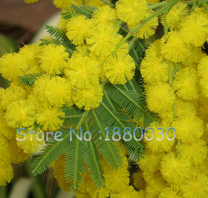 Rare golden mimosa seeds beautiful acacia baileyana yellow wattle rare golden mimosa seeds beautiful acacia baileyana yellow wattle tree flower seeds evergreen bonsai blooms all year round 50pcs in bonsai from home mightylinksfo