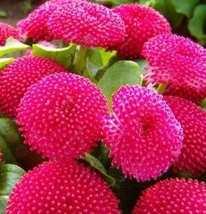 Promozione! 200 pz/borsa Arcobaleno Daisy Garden Misto Crisantemo Bonsai Fiore Flore Naturale Bella Pianta In Vaso per la Casa