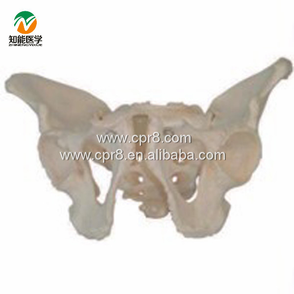 BIX-A1023 Life Size Pelvic Skeleton Models Male Adult Pelvis Model  MQ168 plastic standing human skeleton life size for horror hunted house halloween decoration