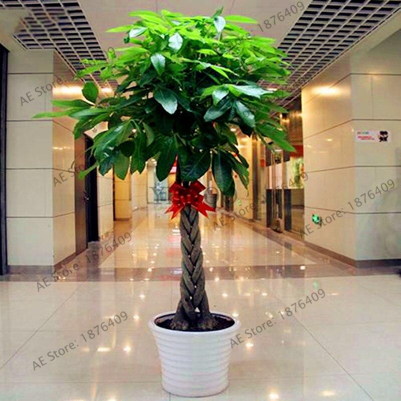 2 pc'er / pakke, Pachira store frugter Flores, ægte bonsai tree plantas Indendørs penge træburetøj til mini-garden og kontor