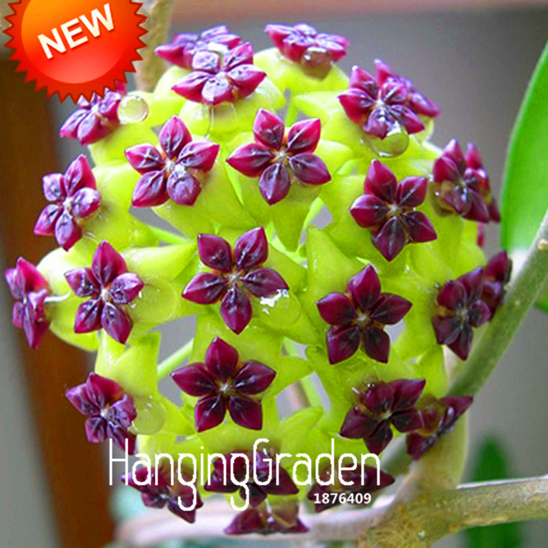 Hot Sale!Hoya Seeds,Potted Flowers Bonsai plants Hoya Seed, Orchid Seed DIY Home Garden 100 Particles/Bag,#J6PXSH