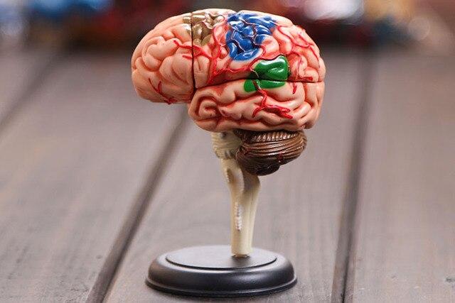 4D modelo de cerebro estructura modelo ensamblado Anatomía Humana ...
