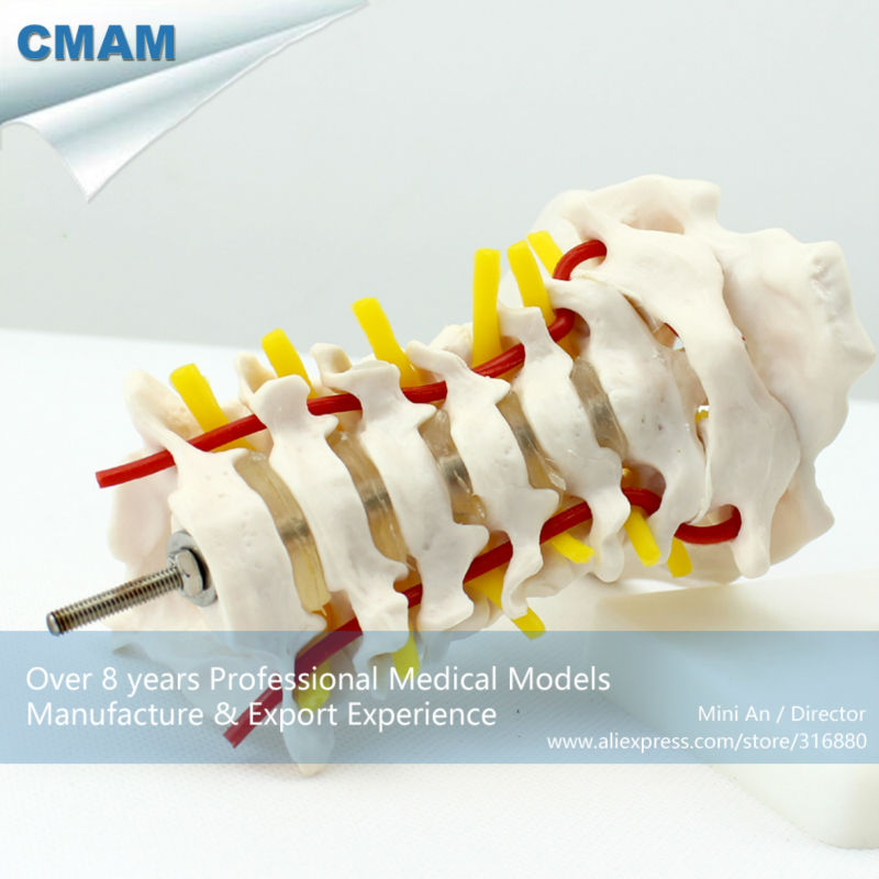 12386 CMAM-VERTEBRA03 Cervical Vertebral Column with Neck Artery,Medical Anatomy Vertebrae Model life size vertebral column spine with pelvis model bix a1009 w051