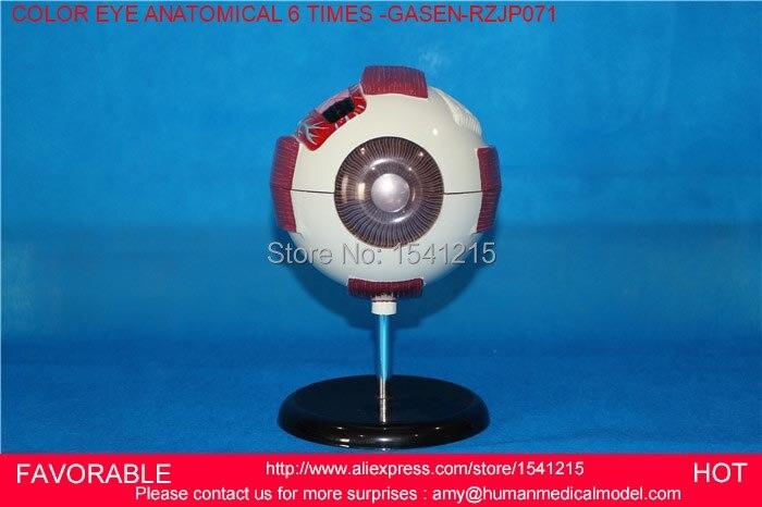 Eye Anatomical Model 6 Times Eyehuman Giant Eye Model Eyeball