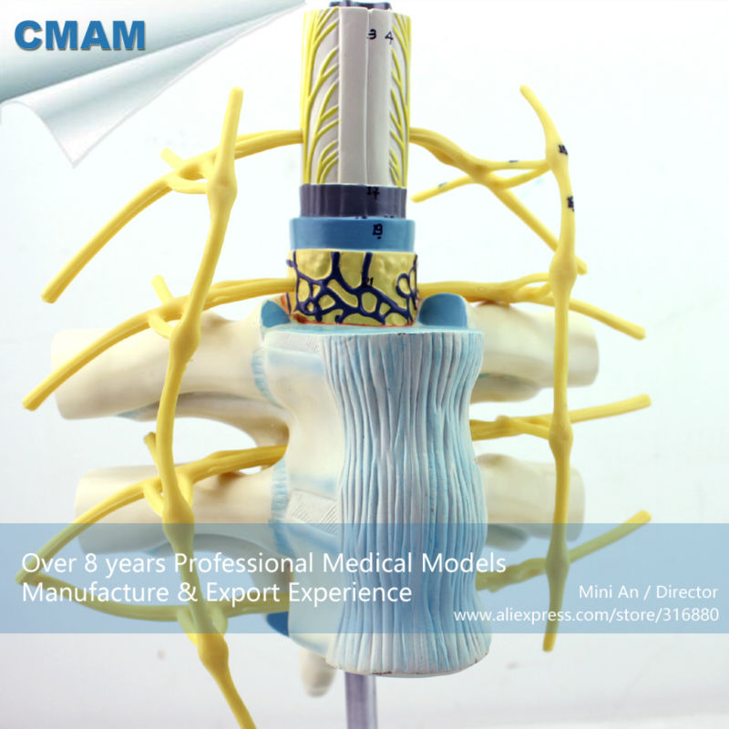 CMAM-VERTEBRA06 Enlarge Spinal Nerve Anatomical Model, Medical Anatomy Spinal Cord Model пуловер с круглым вырезом и вышивкой molly bracken