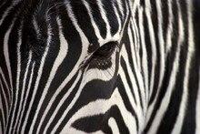 Zebra salvaje Animal seda pared de la lona impresión del cartel pintura decorativa casera