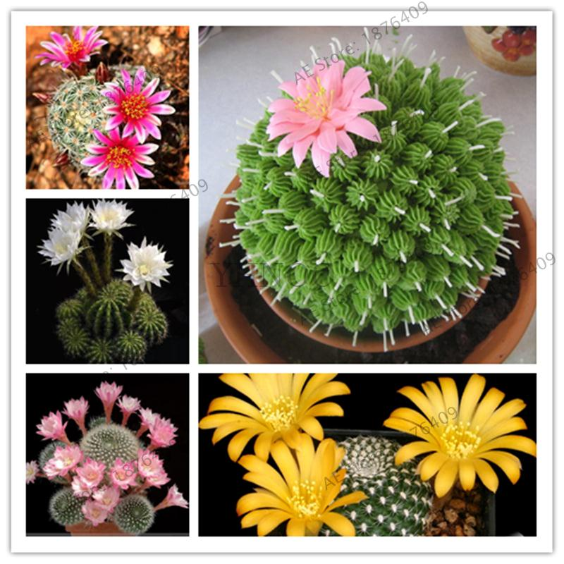 500pcs Colorful Lithops Plants Pseudotruncatella Succulentas Raw Stone Cactus Bonsai Succulents Potted Flowers