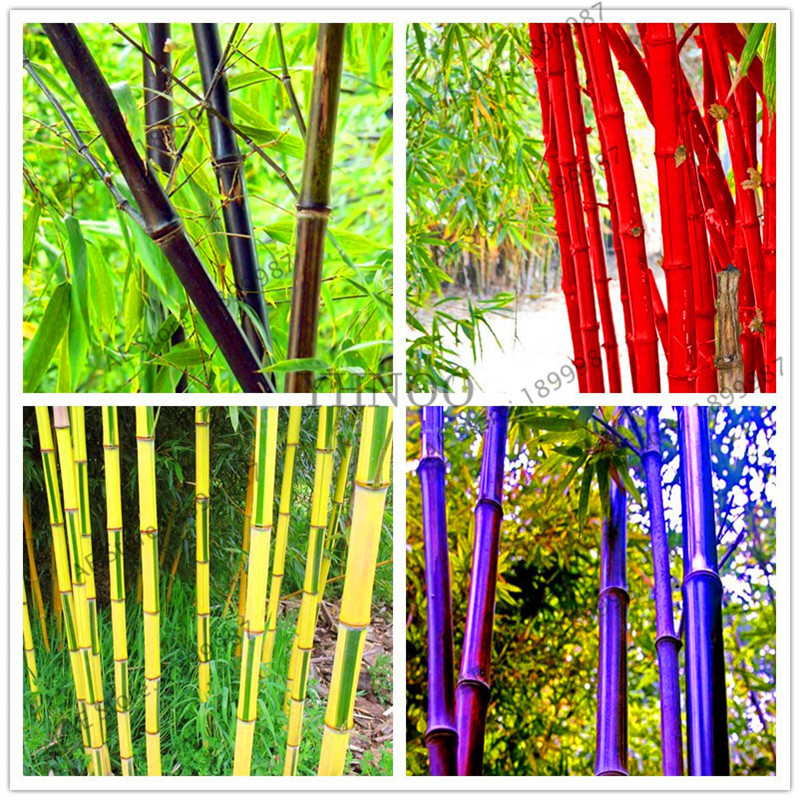 20 Pieces/pack,Lucky Bamboo Plant Garden,easy To Grow,bonsai Plant For Home Courtyard