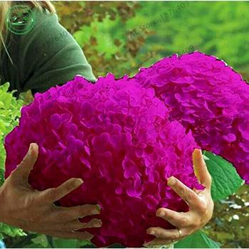20pcs/pack Hydrangea Paniculata vanilla Fraise Strawberry Hydrangea bonsai Flower Potted Plant For Home Garden