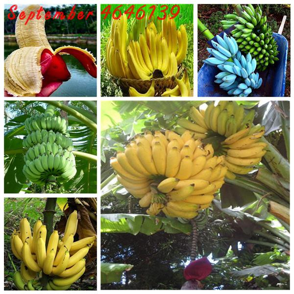 US $0 17 75% OFF|Aliexpress com : Buy Big promotion at a lossGenuine 50Pcs  Dwarf Banana Bonsai Tree, Tropical Fruit Tree, Bonsai Balcony Flower for