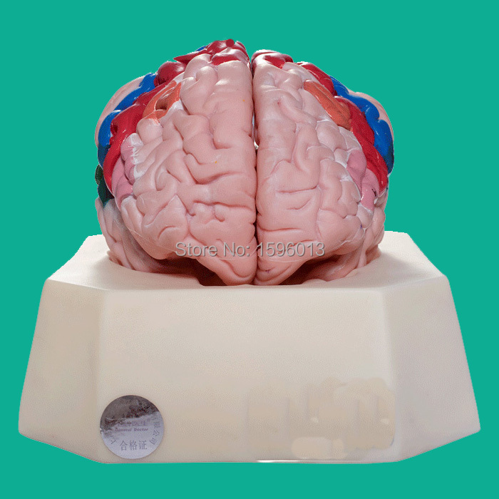Functional Zones of Cerebral Cortex model, Partition model of cerebral cortex, cerebral cortex model bix a1042 anatomy of the head cerebral artery model wbw299