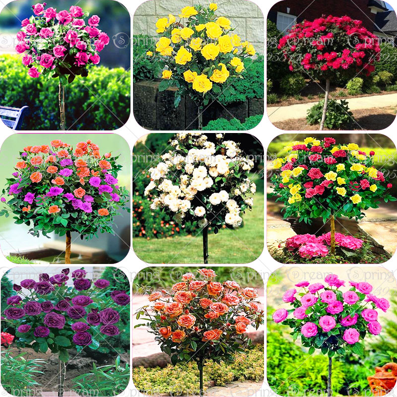 100pcs/bag rose tree rose seeds bonsai tree flower seeds rose tree plant Balcony Yard potted for home garden