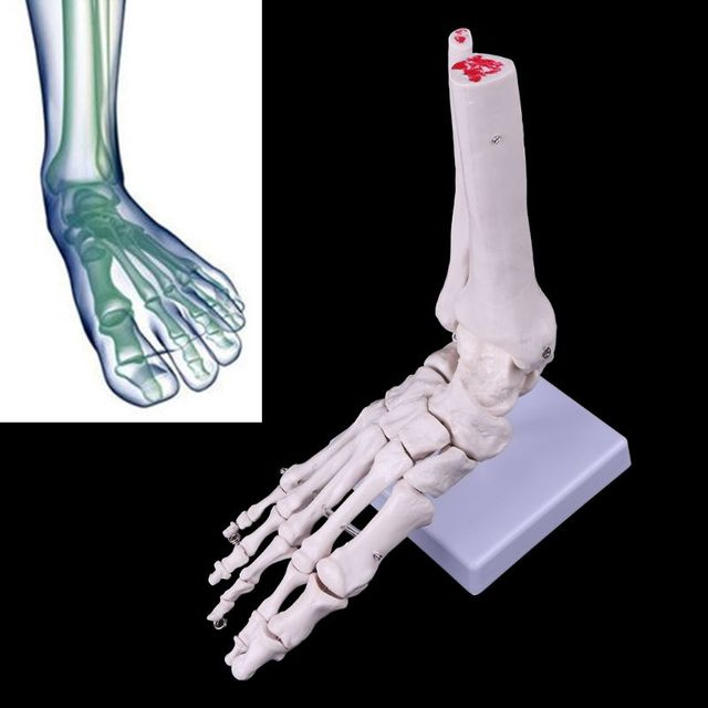 Life size Foot Ankle Joint Anatomical Skeleton Model Medical Display Study Tool Medical Science Stationery for School