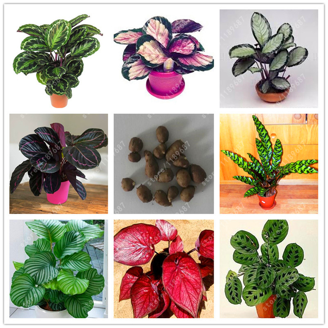 True Caladium Bulb Plants Elephant Ear Bonsai Flower Bulbs Perennial Everygreen