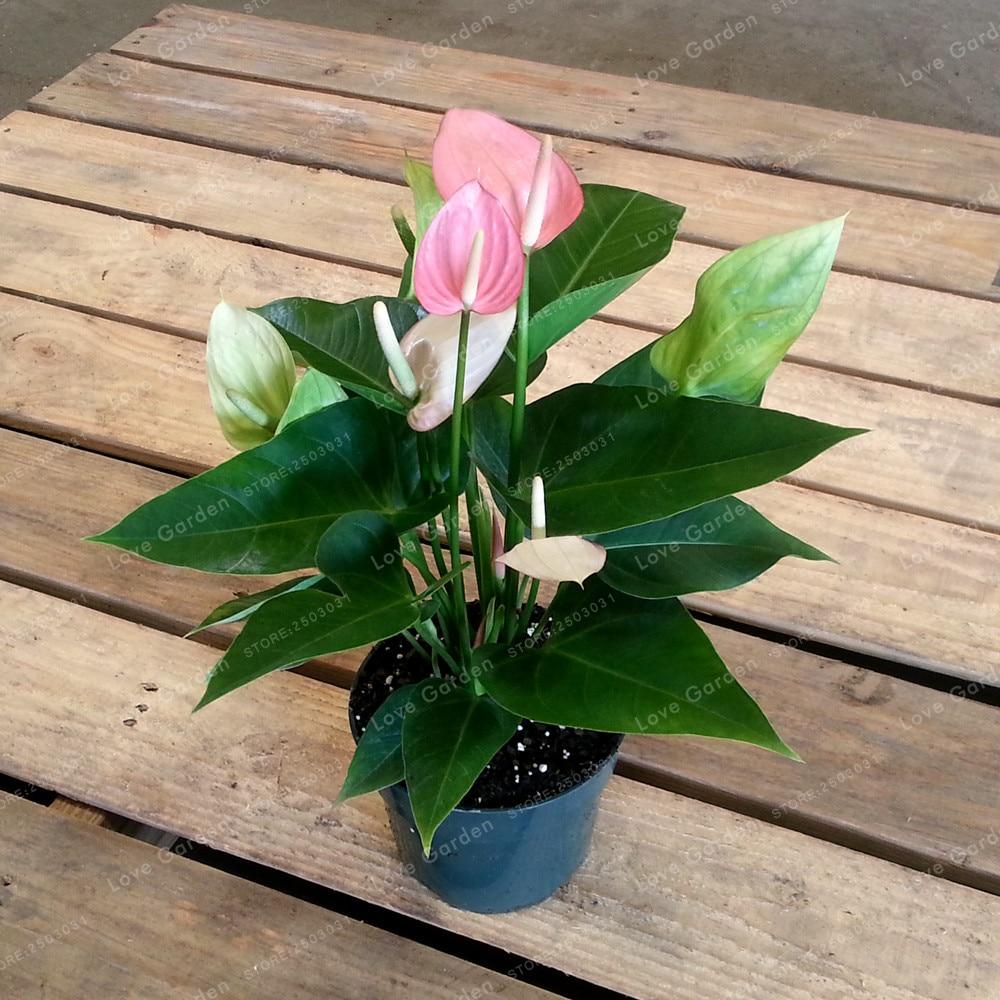 Rare Mixed Color Anthurium Seeds Indoor Plant Bonsai Flower Seeds DIY Balcony