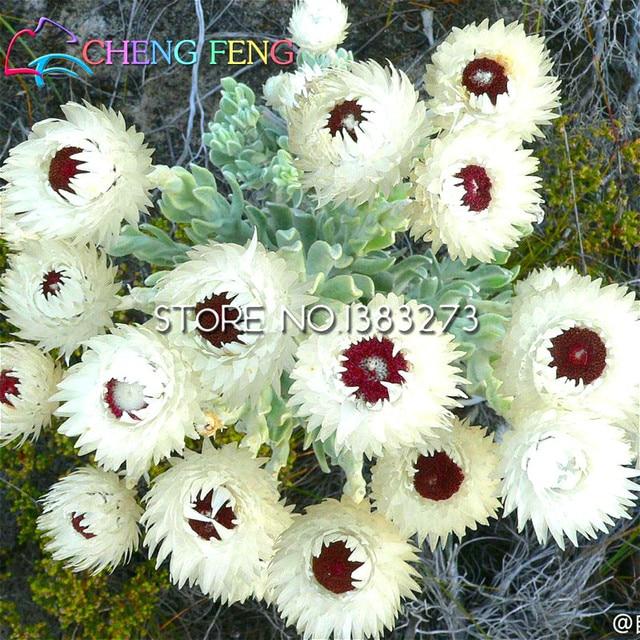 Big Sale 20pcs A Bag Tibet China Seeds Big Snow White Lotus Flower