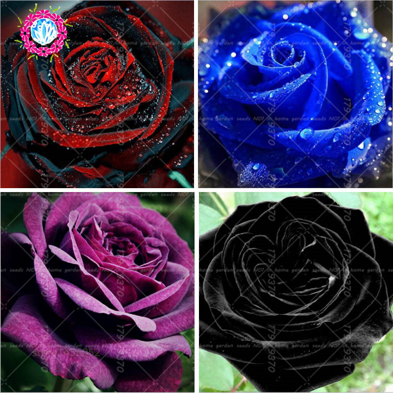 100pcs Bag Black Baccara Hybrid Rose Shrub Flower Seeds