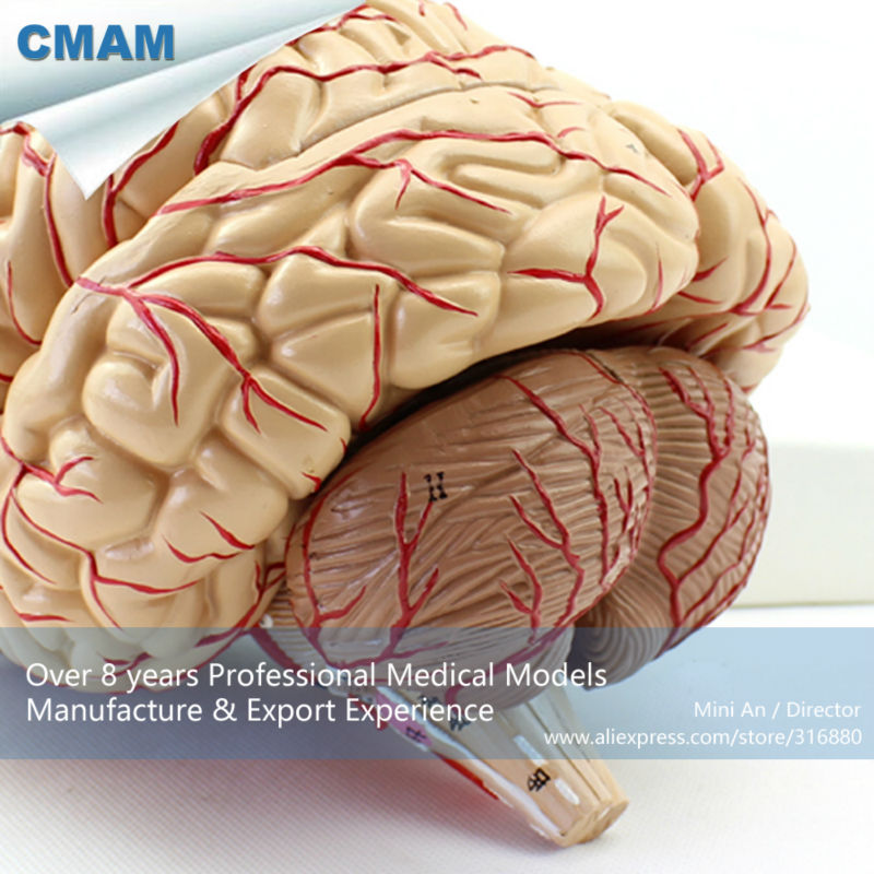 12404 CMAM-BRAIN07 Life Size Human Brain with Arteries Model, Medical Science Educational Teaching Anatomical Models 12023 cmam muscle01 half size human muscles of male with internal medical science educational teaching anatomical models