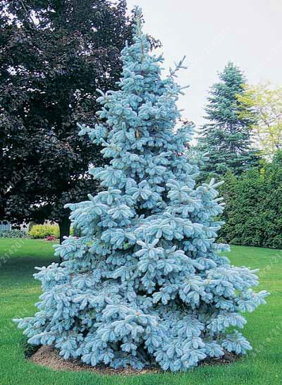 blue spruce trees picea pungens