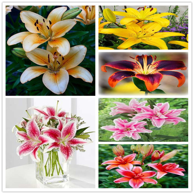 Multi-Varieties Cheap Perfume Lilies Seeds, Lily Seeds, 100pcs/pack