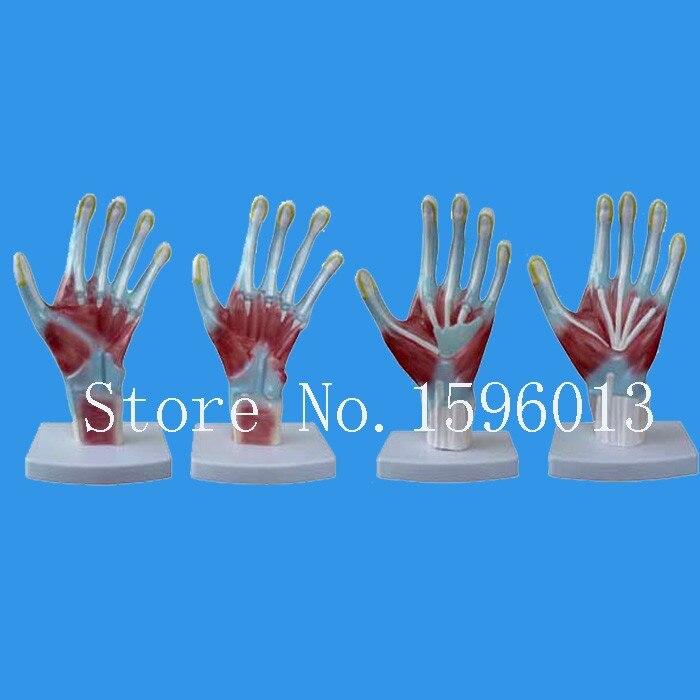 Горячая анатомическая модель руки, модель ладони, анатомическая модель руки