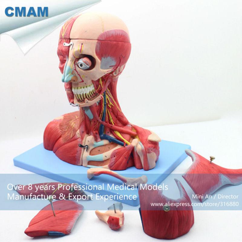 CMAM MUSCLE07 Cabeza y Cuello con Vasos, Los Nervios y el Cerebro ...