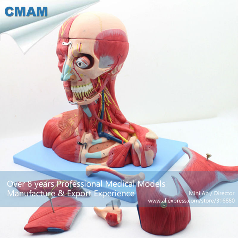 CMAM MUSCLE07 Head and Neck with Vessels Nerves and Brain Medical Model Anatomical Model