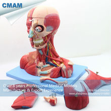 CMAM-MUSCLE07 Head and Neck with Vessels,Nerves and Brain(Medical Model,Anatomical Model)