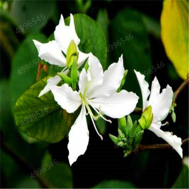 30 шт hot-продажа баухиния дерево решетки многолетние цветущие растения полны деревьев синие цветы для сада растения sementes повязка на голову