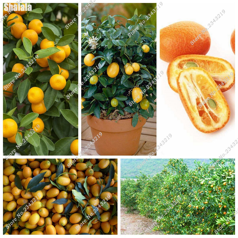 30 Pcs Kumquat Seed French Import Fruit Tasty Orange Seed Balcony Patio Bonsai Tree Garden Decoration Planting Season
