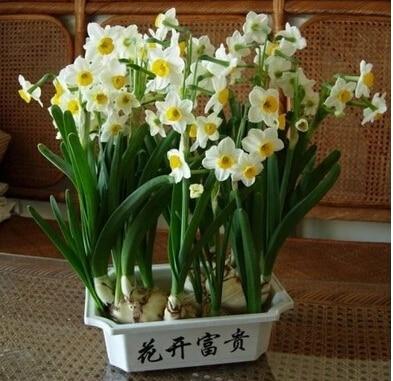 Semillas de jacinto bulbos de narcisos maceta balcn plantacin de