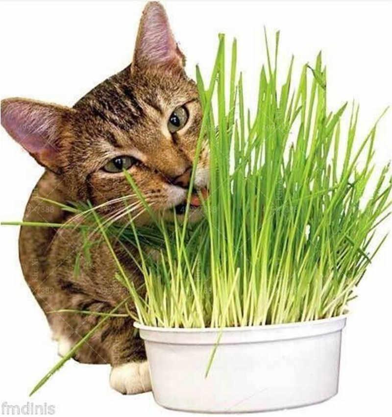 Bonsai cat grass plants 100 pcs cat wheat herb Bonsais Planta for home garden planting Perennial Non-GMO Edible Lemongrass