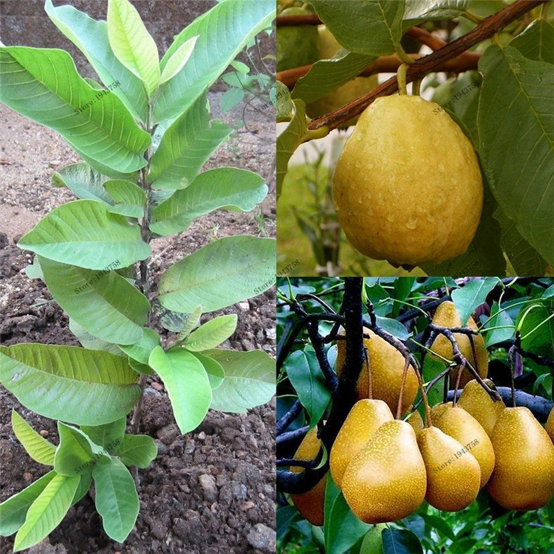 30 pcs Chinese RARE Gaint Orange Pear Seeds sweet fruit seeds bonsai tree for home & garden plants ...