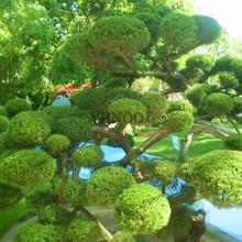 100 pcs juniper tree Bonsai juniper balls potted flowers purify the air 2018 new Plants for DIY home garden plant