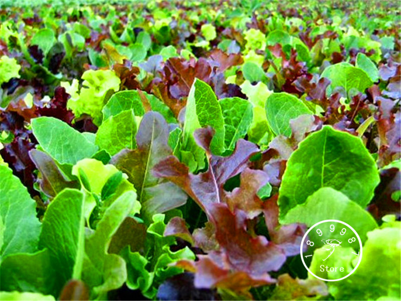 100 PCS New 2018!Mesclun Mix Bonsai,All Lettuce Salad Mix, Easy To Grow Vegetable Garden