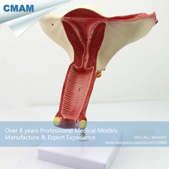 12444 Cmam Anatomy06 Female Genital Reproductive System Sex Organs
