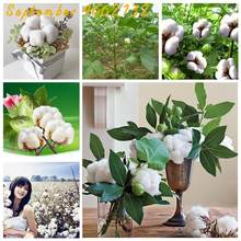10pcs rare bonsai chinese cotton white Gossypium High yield farm textile industry crops for home&garden planting easy to grow(China)