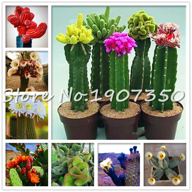 100 pcs Cactus bonsai Indoor Multifarious Ornamental Plants bonsai Rare Succulents Flower bonsai Can Purify The Air For Jardin