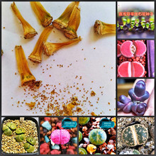 50pcs Mix Lithops bonsai Living Stones Flower Succulent Cactus Organic Plant Home Garden