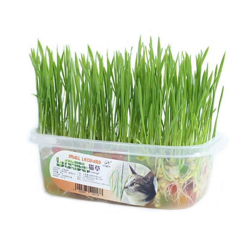 Vegetable Bonsai Medicinal Use graines legumes potager DIY Home garden Cat Grass Plant Herb Edible Lemongrass Kitchen Use