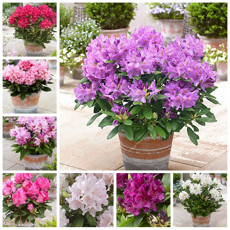 Us 0 22 60 Off 100 Pcs Bag Anese Azalea Bonsai Rhododendron Outdoor Flower Potted Flore Tree Diy Plant Home Garden Easy To Grow On