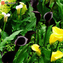 Red Edge black Calla Seeds Balcony Potted Bonsai Patio Plant Seeds Calla Flower Seeds 100 Particles / lot